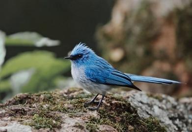 African Blue Flycatcher
