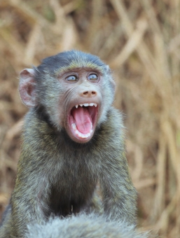 baby Olive Baboon in Lake Mburo National Park, Uganda