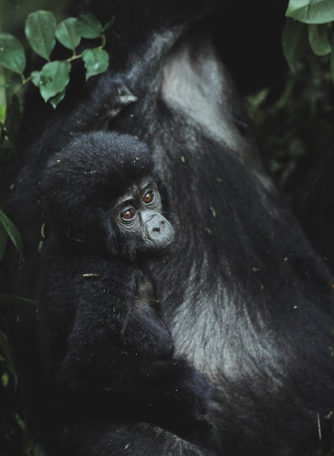 Mountain Gorillas in Bwindi Impenetrable National Park, Uganda