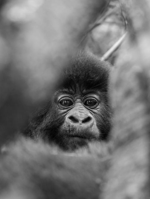 Mountain Gorilla in Mgahinga Gorilla National Park, Uganda