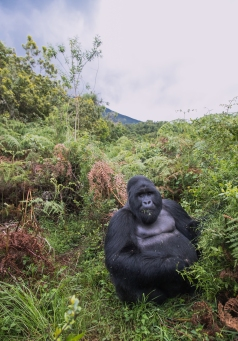 silverback Mountain Gorilla in Mgahinga Gorilla National Park, Uganda