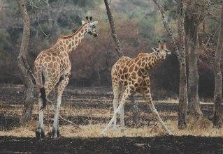 giraffes in Lake Mburo National Park, Uganda