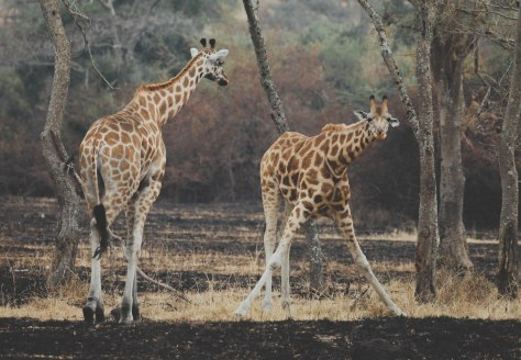 giraffes in Lake Mburo National Park, Uganda