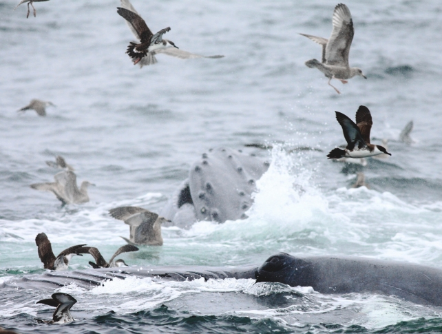 humpback whales and seabirds
